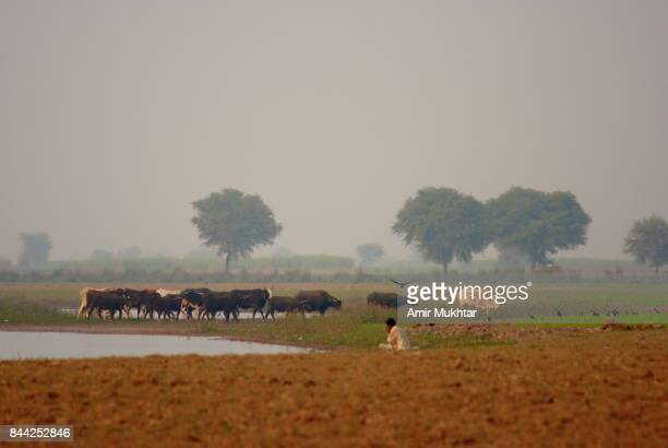 Cattle Grazing Near River Bank
