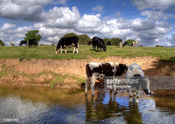 Cattle grazing next to Lancaster Canal