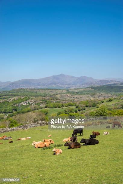 cattle grazing on a hillside in snowdonia, north wales - wales stockfoto's en -beelden