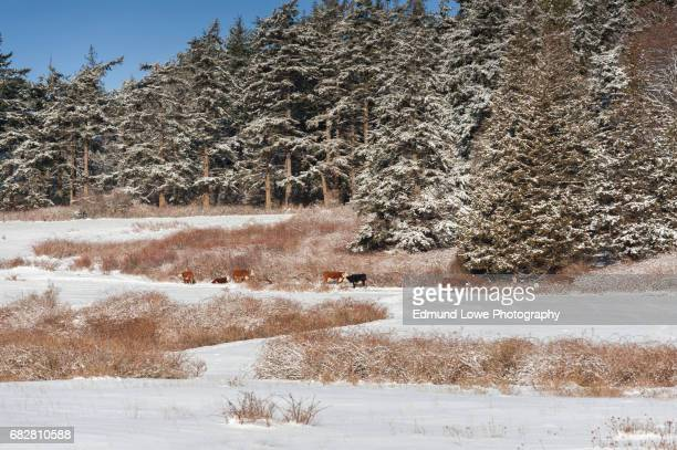 Cattle Grazing on a Pasture After a Snowstorm