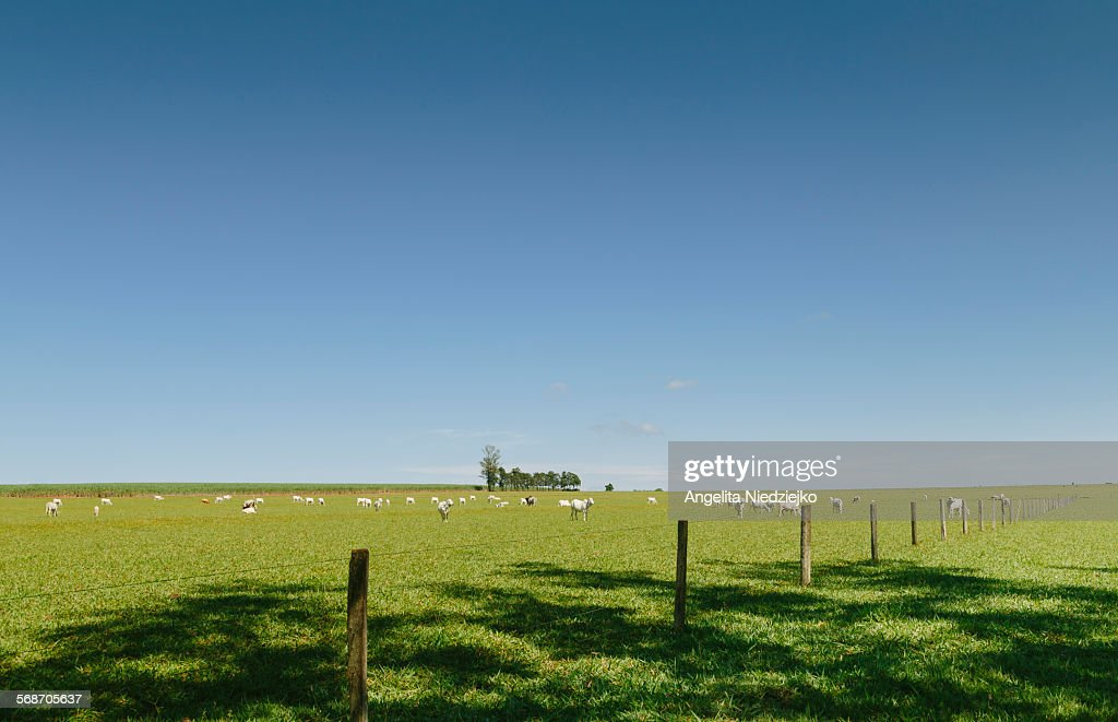 Cattle grazing on farm : Stock Photo