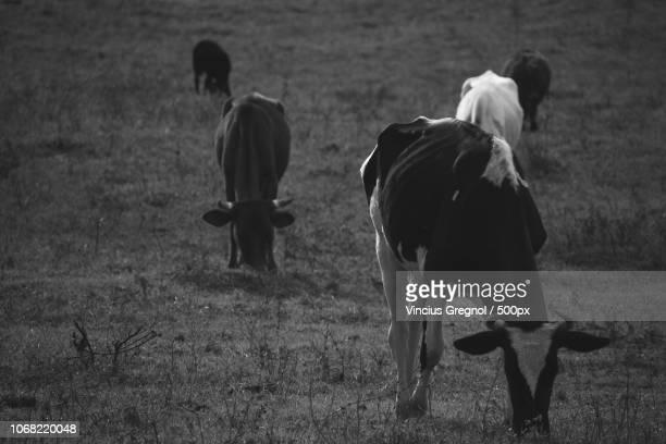 cattle grazing on field - gregnol fotografías e imágenes de stock