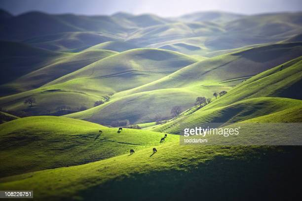Cattle Grazing on Grassy Hills