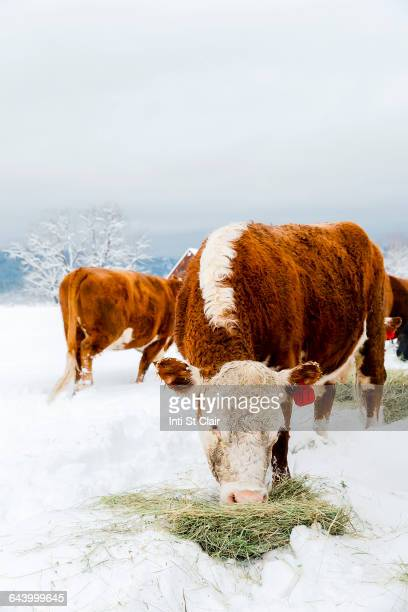 Cattle grazing on hay in snowy field