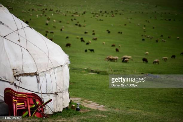 cattle grazing on meadow - kirgizië stockfoto's en -beelden