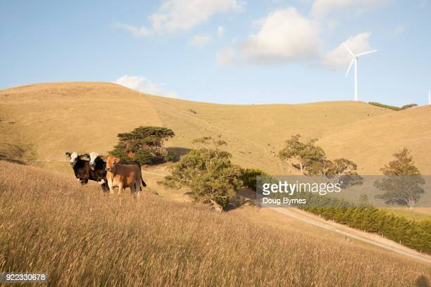 Cattle grazing on wind farm