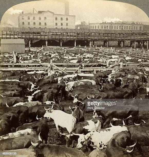 Cattle Great Union Stock Yards Chicago Illinois USA Stereoscopic card detail