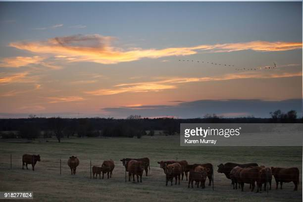 Cattle Herd at Sunset with Geese
