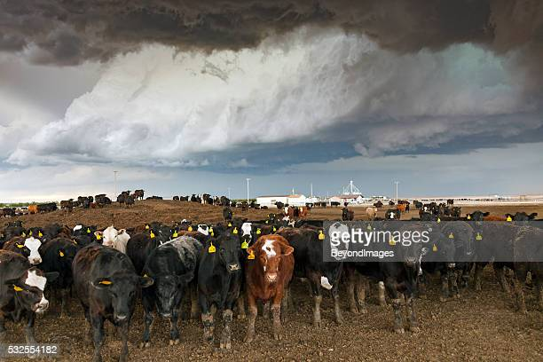 Cattle herd in Colorado feedlot with severe thunderstorm overhead