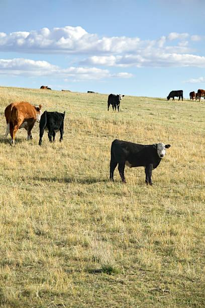 Cattle herd in field in Nebraska