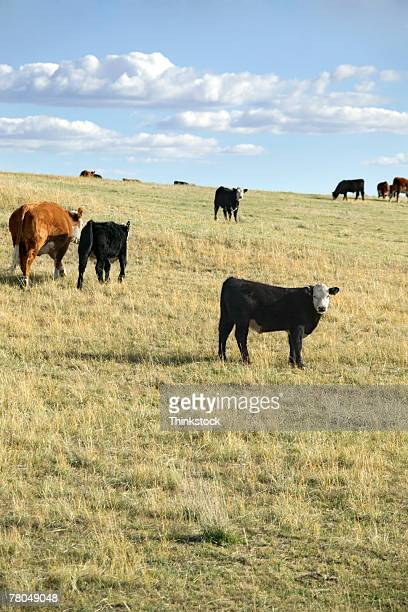 cattle herd in field in nebraska - grazing stock pictures, royalty-free photos & images