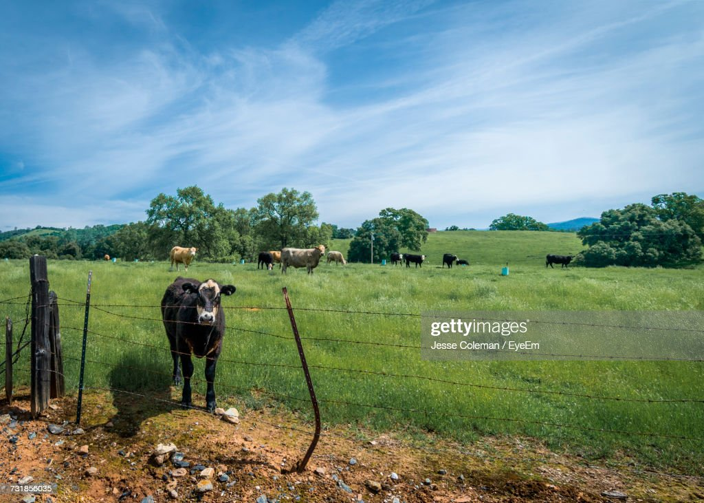 Cattle Herd Standing On Field Against Sky : Stock Photo