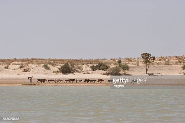 Cattle herder along the shores of the Niger River between Sebi and Niafunke Mali
