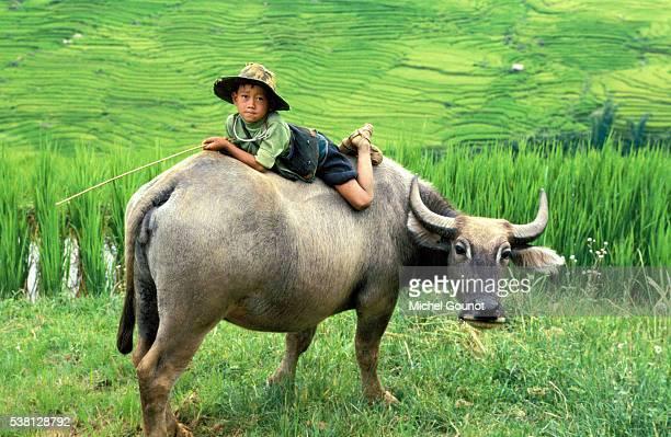 Cattle herder in Sapa region, North Vietnam