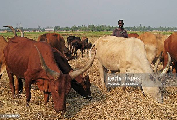 A cattle herder stands among Ankole longhorns a breed of cattle native to Africa in Maramvya north of Bujumbura on August 13 in Burundi Men in...