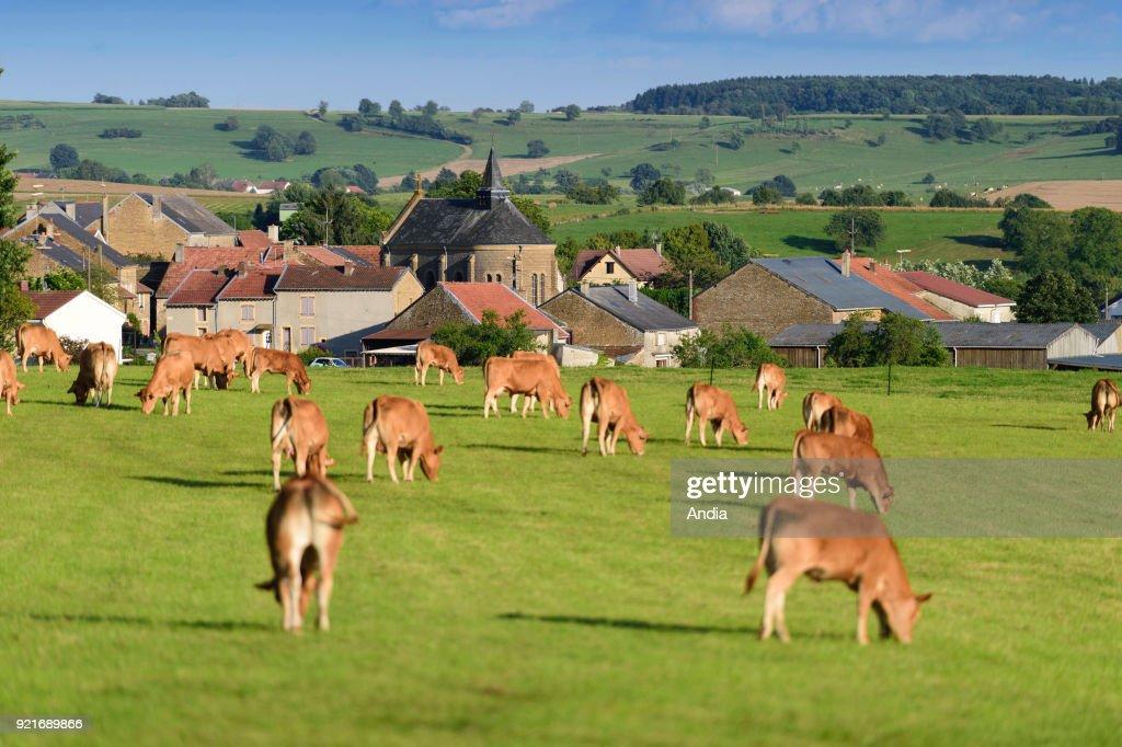 Cattle in a field near the village of Matton-et-Clemency. : News Photo