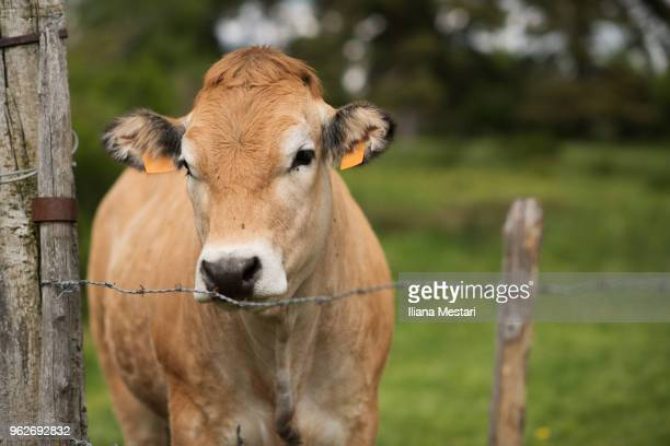Cattle in a french prairie