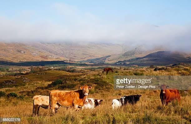 Cattle in a pasture, near Sneem