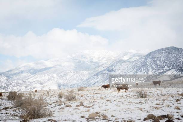 Cattle in a snowy landscape.