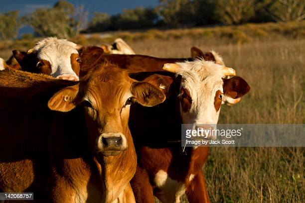 Cattle in afternoon sun