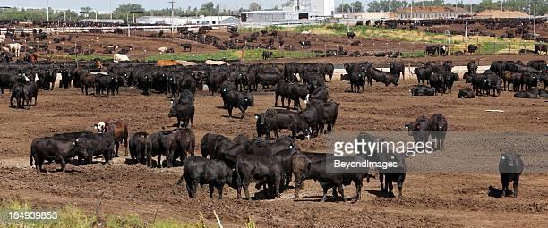 Cattle in dry Kansas feedlot, panorama