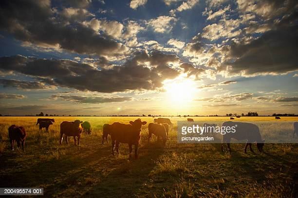 Cattle in field, sunset