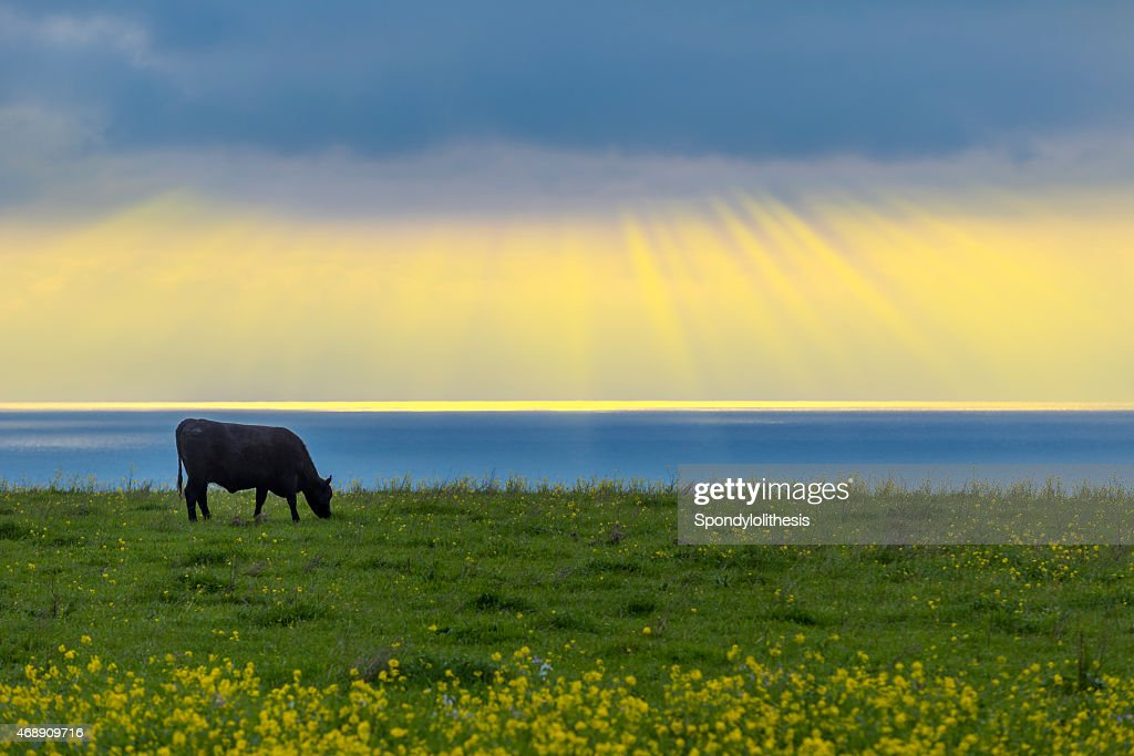 Cattle in Half Moon Bay with dramatic sunbeam : Stock Photo