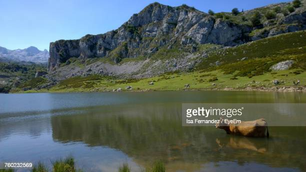Cattle In Lake Against Mountain
