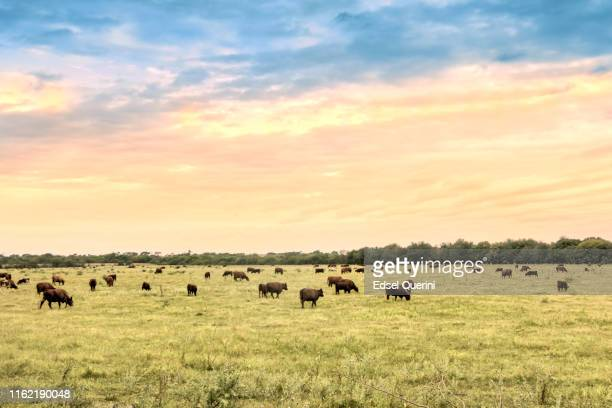 cattle in natural pastures of the argentine pampa. - grazing stock pictures, royalty-free photos & images
