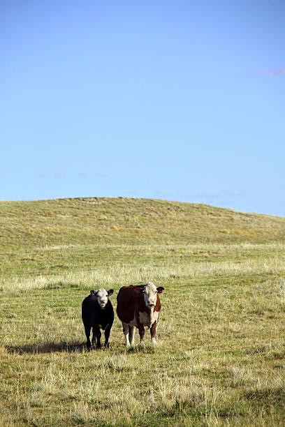 Cattle in pasture in Nebraska