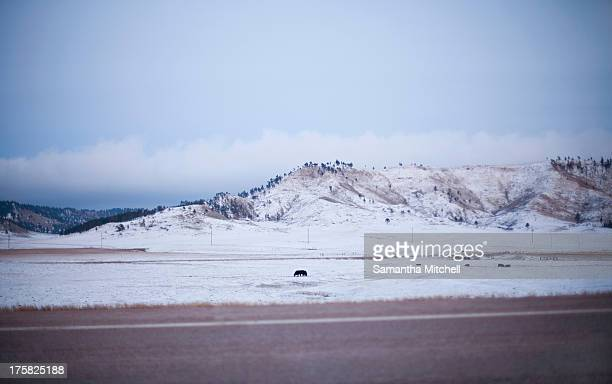 Cattle in snow covered field, South Dakota, USA