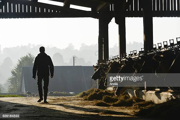 Cattle in the lairage of a dairy farm of Lower Normandy Holstein Friesian cattle busy eating silhouette of a breeder leaving the cowshed