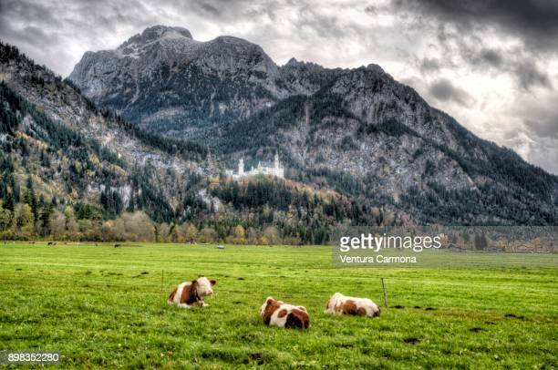 Cattle in the pasture in front of the Neuschwanstein Castle - Bavaria, Germany