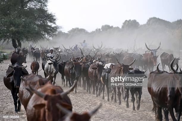 Cattle is herded close to the village of Guite in Chad's lake region north of the capital NDjamena on March 30 2015 AFP PHOTO/PHILIPPE DESMAZES