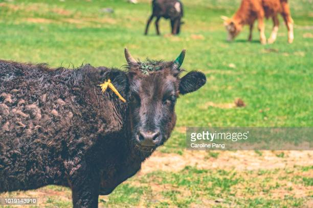Cattle is one of the livestock reared by the nomads of Mongolia include cattle.