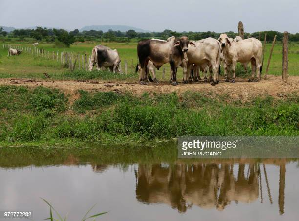 Cattle is seen on the side of a road near Leticia in rural Monteria, Cordoba Department, northern Colombia, on June 8, 2018. - People who fled their...
