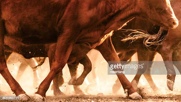 Cattle kicking up dust in outback, Dulacca, Queensland,  Australia