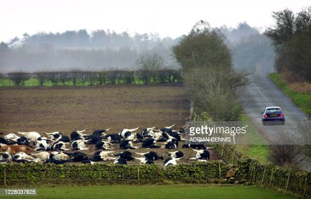 Cattle lie in a field beside a roadway after being slaughtered in North Dykes, near Penrith 06 April 2001. The cows were killed earlier in the week...