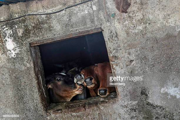 Cattle look out the window of a cow shelter known as a goshala in Mumbai India on Tuesday March 10 2015 The government of the state of Maharashtra...
