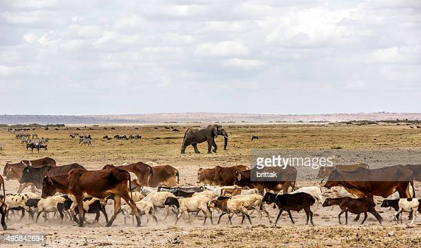 Cattle mixing with wildlife in Amboseli Game reserve, Kenya.