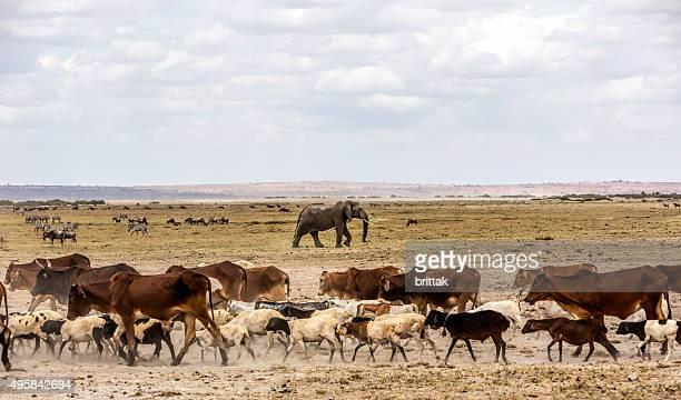 Bovinos mistura com vida selvagem no Amboseli Game reserve, Quénia.