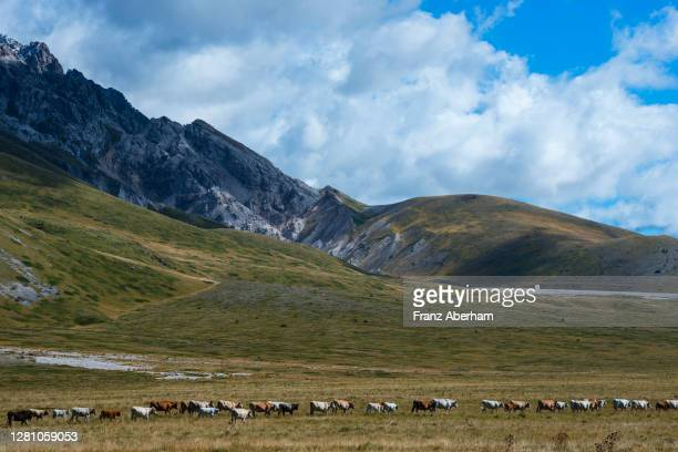 cattle move along campo imperatore valley, italy - parco nazionale del gran sasso e monti della laga foto e immagini stock