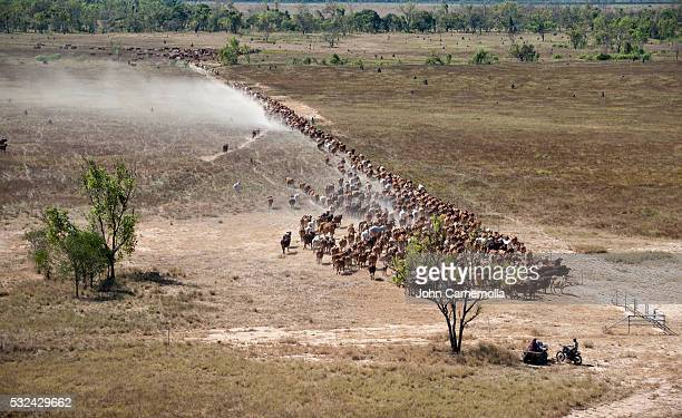 Cattle mustering on Delta Downs Station