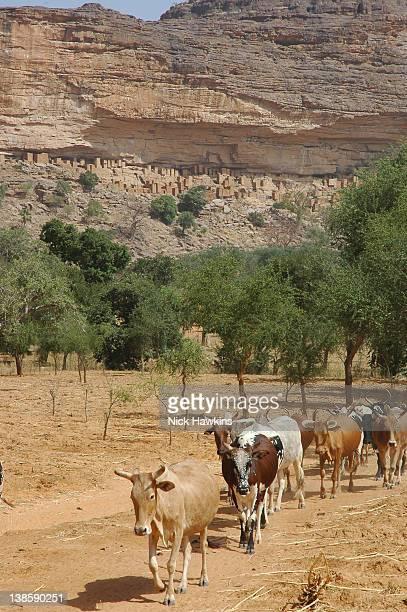 Cattle near Dogon village, Mali