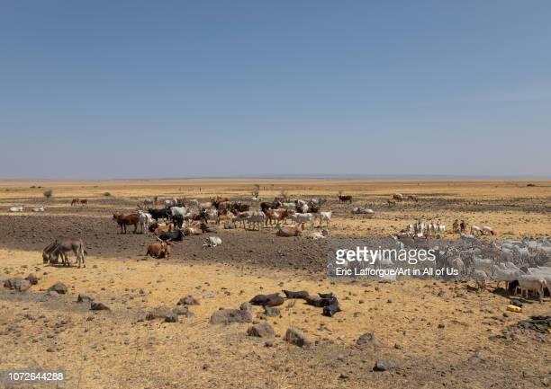Cattle of somali people in a dry field, Afar Region, Gewane, Ethiopia on November 2, 2018 in Gewane, Ethiopia.