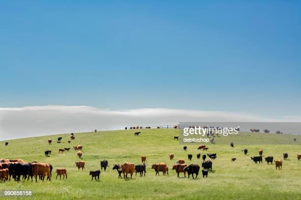 cattle on a hill - grazing stock pictures, royalty-free photos & images
