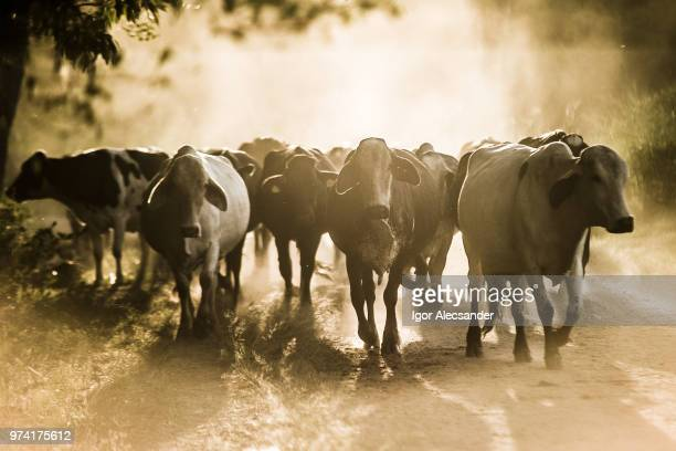 cattle on dusty dirt road - livestock stock pictures, royalty-free photos & images