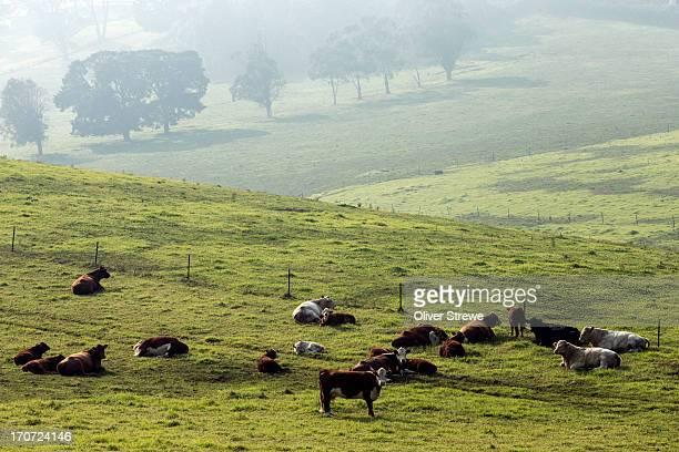 Cattle on rolling farmland