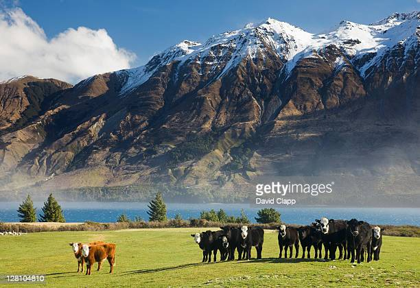 Cattle (Bos taurus) on shore of lake Wakatipu at start of Humboldt Mountain Range, Glenorchy, Queenstown, South Island, New Zealand