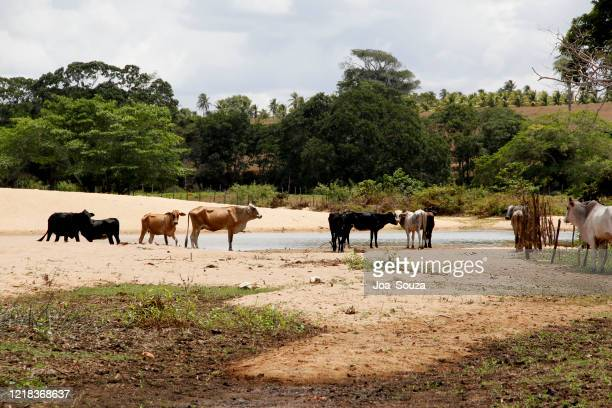 cattle on the itapicuru river bank - zoonotic diseases stock pictures, royalty-free photos & images